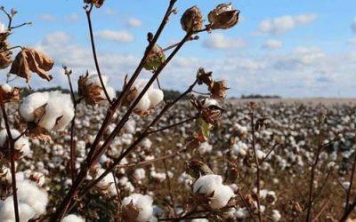 Cuddly cotton
