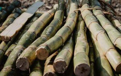 Cheaper sugar cane