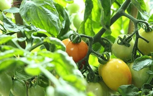 Perfected tomato